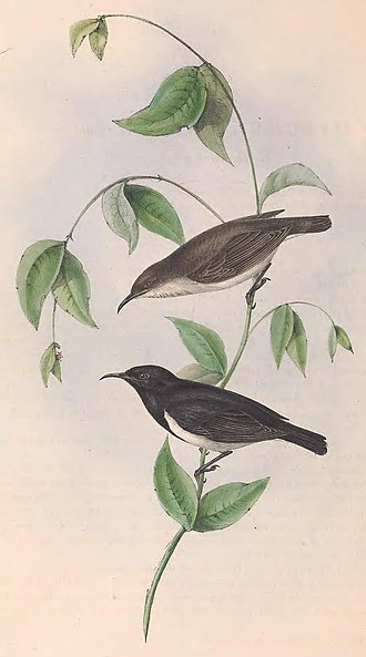 Black honeyeater - John and Elizabeth Gould's illustration of a female and male drawn from nature