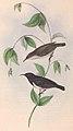 Myzomela nigra Gould 1848 (cropped).jpg