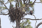 NASA Kennedy Wildlife - Bald Eagle (4).jpg