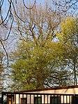 ND0106-1 Niemtsch Quercus Robur.jpg
