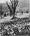 Narcise pod Golico 1930.jpg