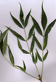 Narrow-leafed Ash (Fraxinus angustifolia) shoot with leaves