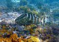 Nassau grouper (13002195025).jpg