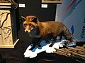 Natuurmuseum Fryslân - NK Prepareren - 13 vos.JPG