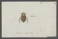 Naucoris - Print - Iconographia Zoologica - Special Collections University of Amsterdam - UBAINV0274 041 11 0007.tif