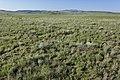 Near Coyote Canyon - Flickr - aspidoscelis (8).jpg