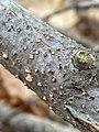 Nectria cinnabarina 59496884.jpg