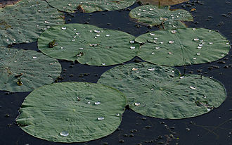Nelumbo - Foliage of Nelumbo nucifera: an example of the lotus effect after rain.