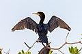 Neotropic Cormorant, Cotúa Olivácea (Phalacrocorax brasilianus olivaceus).jpg