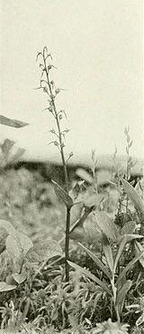 Neottia bifolia WFNY-f011.jpg