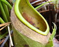 Nepenthes albomarginata without trichomes cropped.jpg