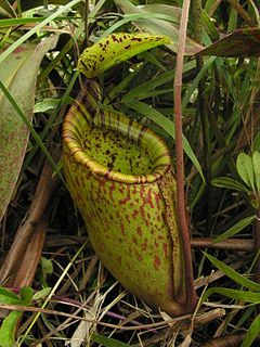 <i>Nepenthes palawanensis</i> species of plant