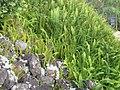 Nephrolepis cordifolia (L.) C.Presl (AM AK297005-3).jpg