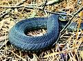 Nerodia erythrogaster flavigaster.jpg