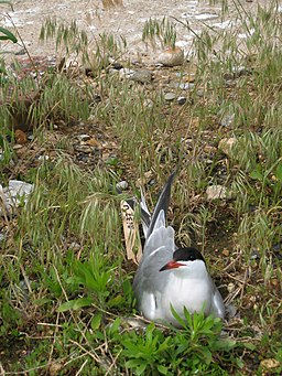 Nesting Common Tern (3593775838)