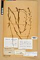 Neuchâtel Herbarium - Camelina microcarpa - NEU000022974.jpg