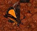 Noctuid Moth (Darceta severa) (39691558174).jpg