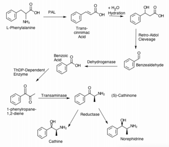 Cathinone - Mechanism of the Non-Beta Oxidation pathway for the biosynthesis of S-Cathinone in the Khat plant