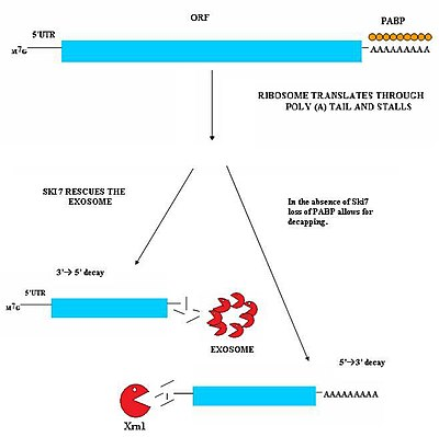 How does a cell use mRNA?