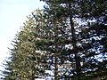 Norfolk Island pine (3393872113).jpg