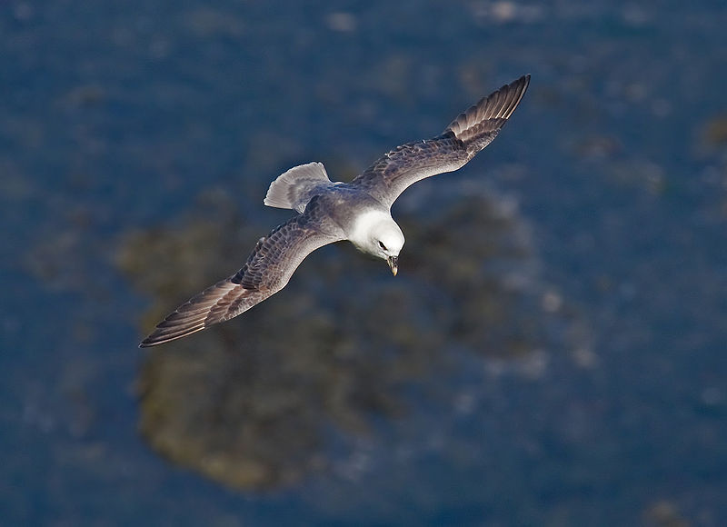 File:Northern-Fulmar2.jpg