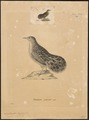Nothura nana - 1700-1880 - Print - Iconographia Zoologica - Special Collections University of Amsterdam - UBA01 IZ18900253.tif