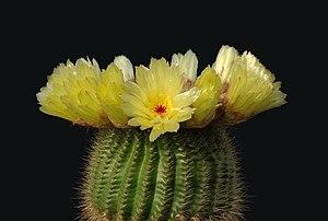 Notocactus minimus