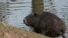 Ficheiro:Nutria population in Weilerswist, Germany low res.ogv