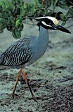 Nycticorax violaceus in Florida mangroves.jpg