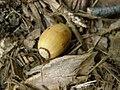 Oak Acorn P8260003.jpg