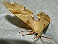 Oak Hawk-moth (Marumba quercus) male (8332157033).jpg