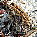 Oak Toad Sunbathing Dew Away (6008836297).jpg