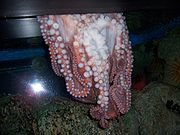 An octopus escaping an aquarium through a thin crack.