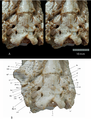 Ocepeia daouiensis basicranium.png