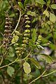 Ocimum basilicum - Agri-Horticultural Society of India - Alipore - Kolkata 2013-01-05 2275.JPG