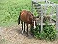 Ocracoke ponies 01.jpg