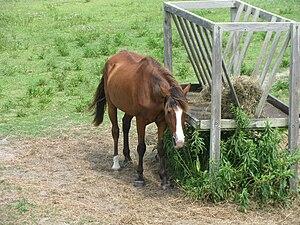 Banker horse - A Banker horse on Ocracoke Island