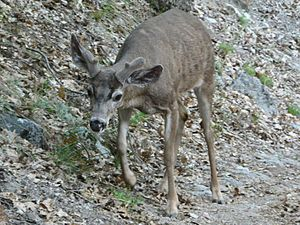 California mule deer - A young buck in Yosemite National Park