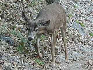 California mule deer subspecies of deer