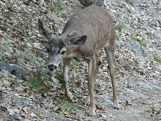California mule deer - A young buck in Yosemite National Park