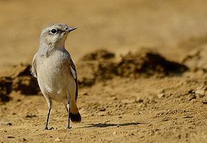 Red-tailed wheatear - Image: Oenanthe chrysopygia