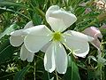 Oenothera-caespitosa-20080330.JPG