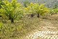 Oilpalm Mizoram DSC6922.jpg