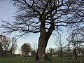 Oldest oak tree in the Netherlands.jpg