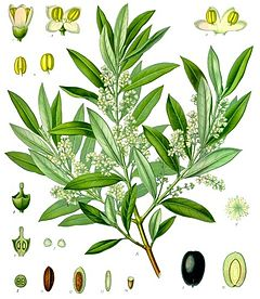 Olea europaea (el verko de Koehler pri medicinaj plantoj, 1887)