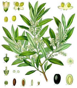 Olive - 19th-century illustrations