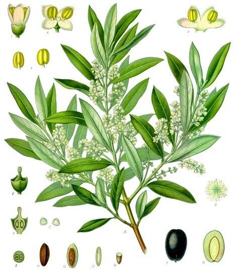 Olea europaea - Köhler–s Medizinal-Pflanzen-229