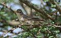 Olive-tree warbler, Hippolais olivetorum, at Elephant Sands Lodge, Botswana (31477242263).jpg