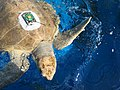 Olive ridley sea turtle gets prepped for release (37156785215).jpg