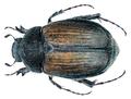 Omaloplia corcyrae (Baraud, 1965).png